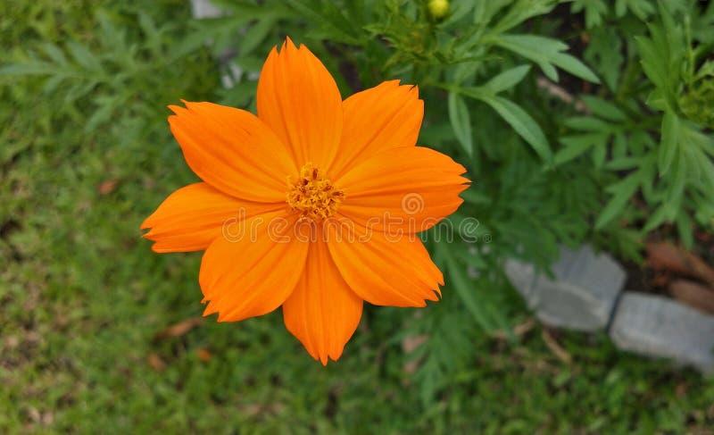 Flor amarillo-naranja del cosmos del azufre en parques foto de archivo libre de regalías