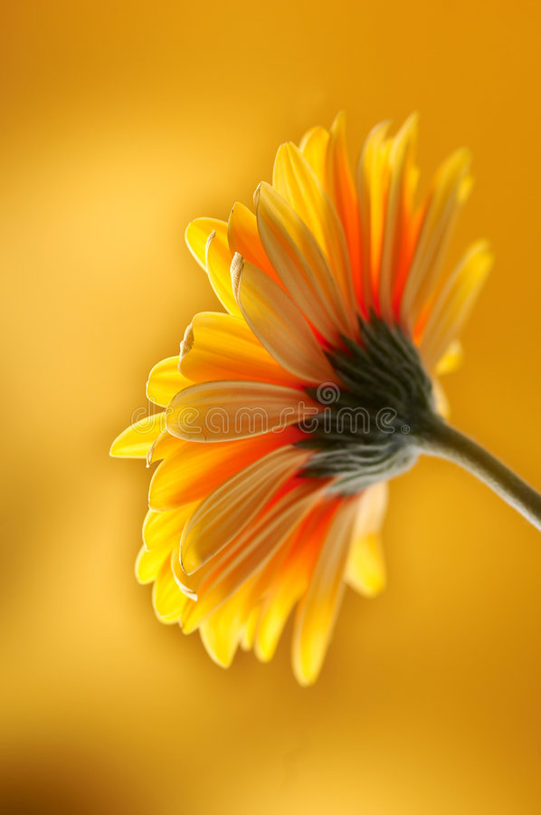 Flor amarillo-naranja del gerber imagen de archivo libre de regalías