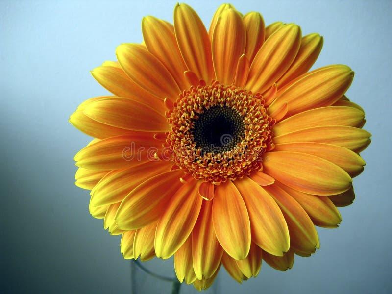 Flor amarillo-naranja del Gerbera en un fondo azul imagenes de archivo
