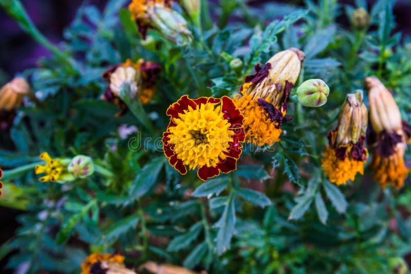 Flor Amarillo-roja del calendula en el jardín con el backg verde de la cuchilla fotografía de archivo