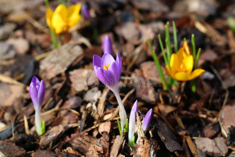 Flor amarillo y púrpura del azafrán, azafrán del primer imágenes de archivo libres de regalías