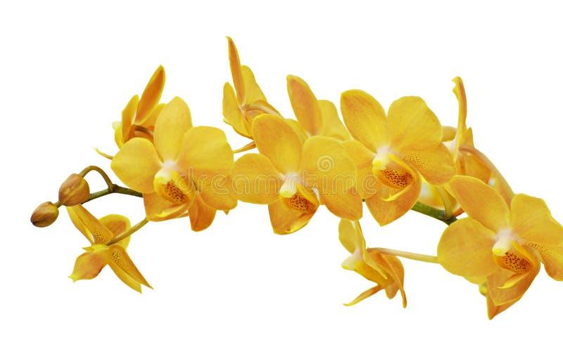 Flor anaranjada aislada de la orquídea foto de archivo