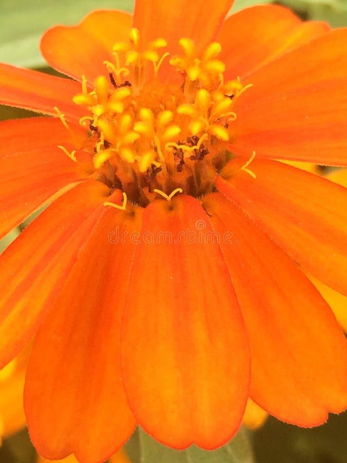 Flor anaranjada, belleza, fondo, detalle, flor, fotos de archivo libres de regalías