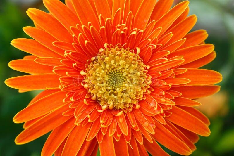 Flor anaranjada brillante hermosa en macro fotografía de archivo