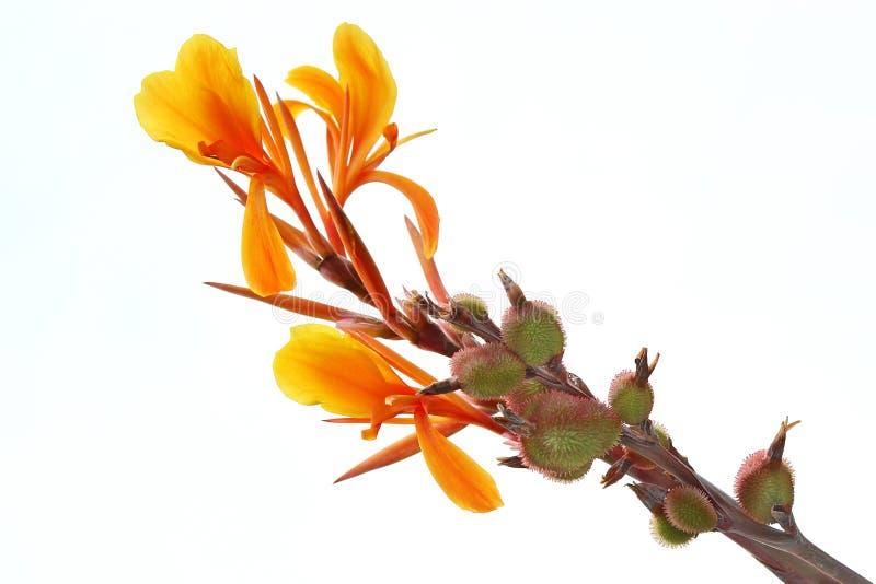 Flor anaranjada de Canna imagen de archivo libre de regalías