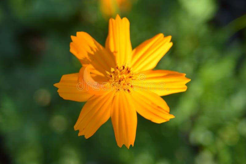 Flor anaranjada de Diasy del mexicano en fondo verde foto de archivo