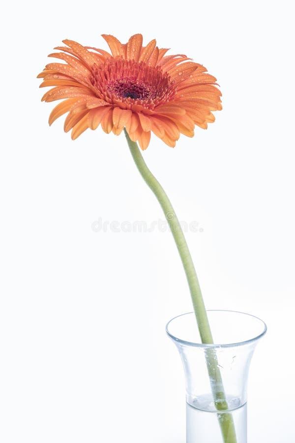 Flor anaranjada de Gerber en un florero de cristal en blanco imagen de archivo libre de regalías