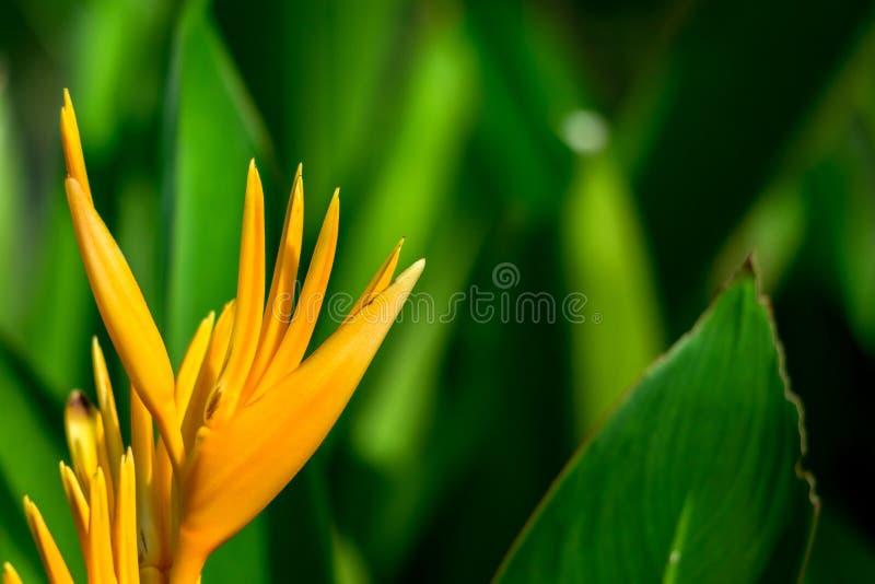 Flor anaranjada de Heliconia en fondo borroso verde fotos de archivo libres de regalías