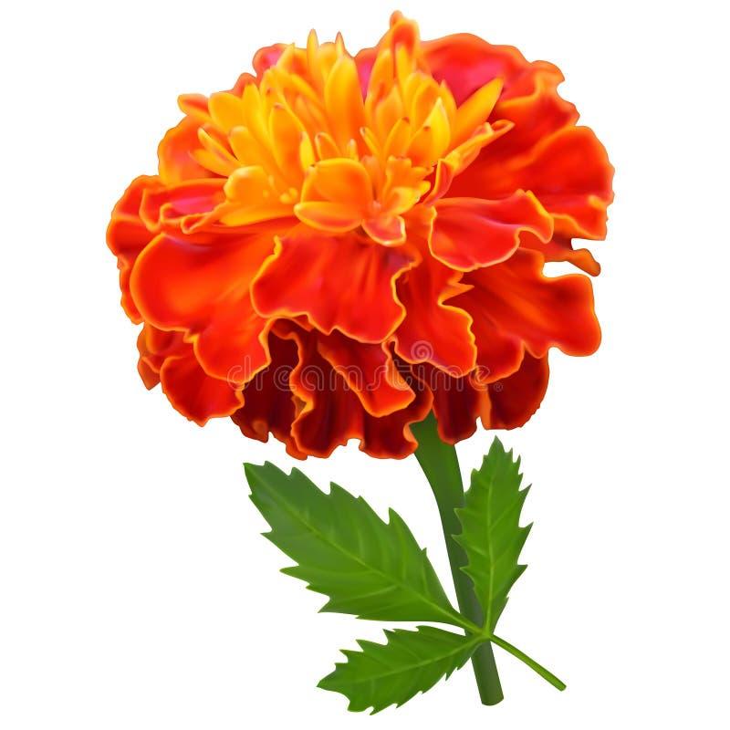 Flor anaranjada de la maravilla stock de ilustración