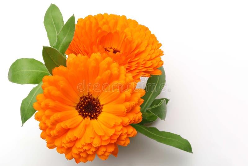 Flor anaranjada de la maravilla de pote fotografía de archivo libre de regalías