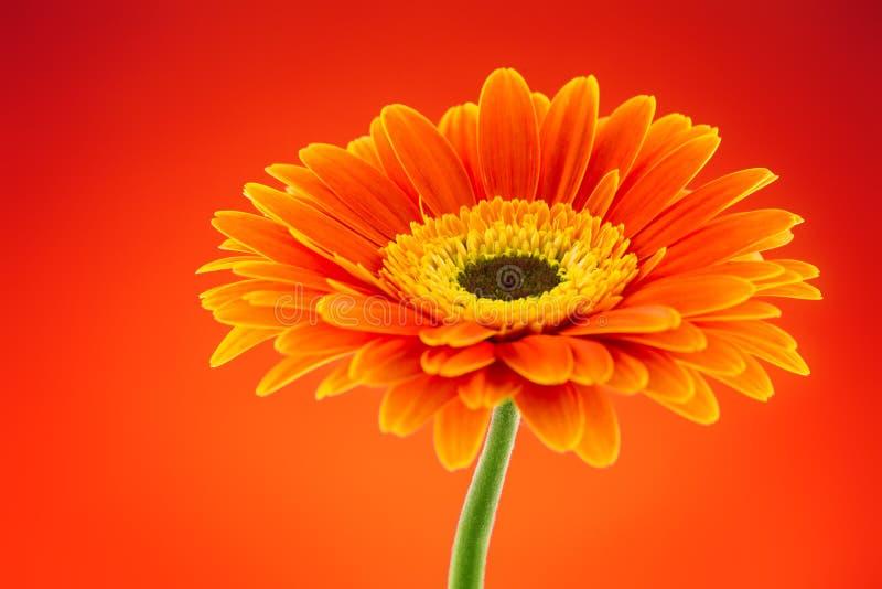 Flor anaranjada de la margarita del gerbera imagenes de archivo