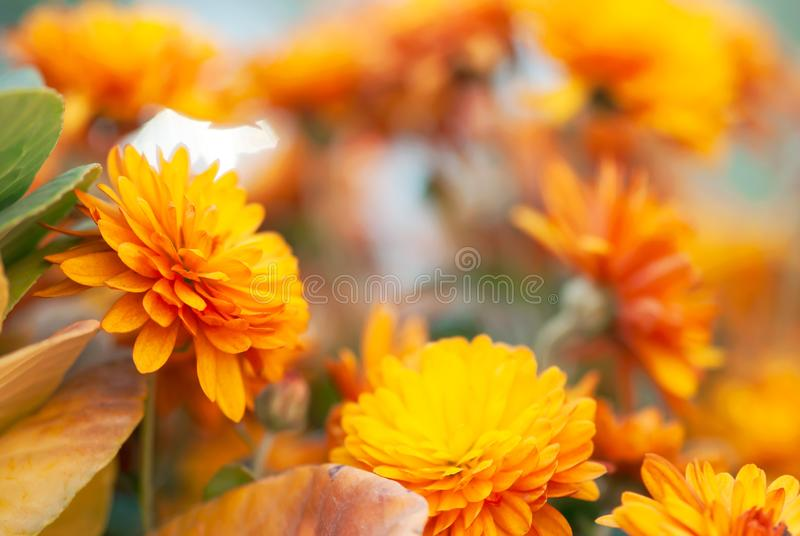 Flor anaranjada del crisantemo imagen de archivo libre de regalías