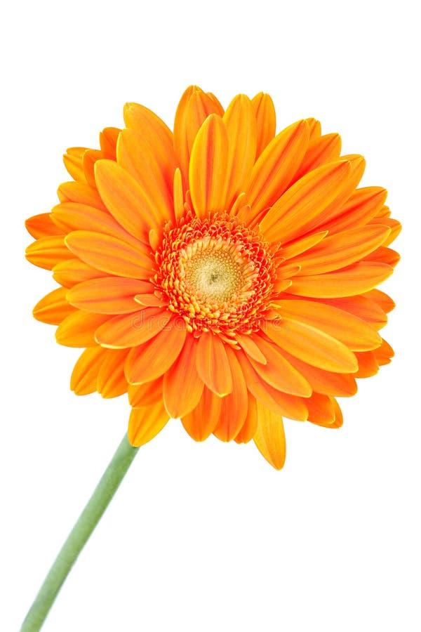 Flor anaranjada del gerbera fotos de archivo