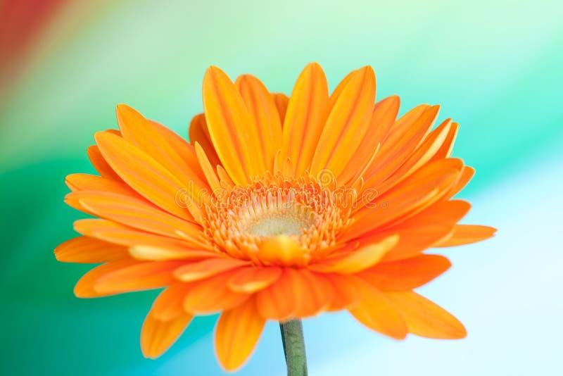 Flor anaranjada del gerbera imagen de archivo libre de regalías