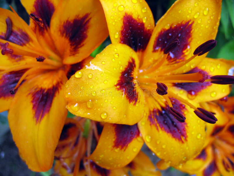 Flor anaranjada del lirio imagenes de archivo