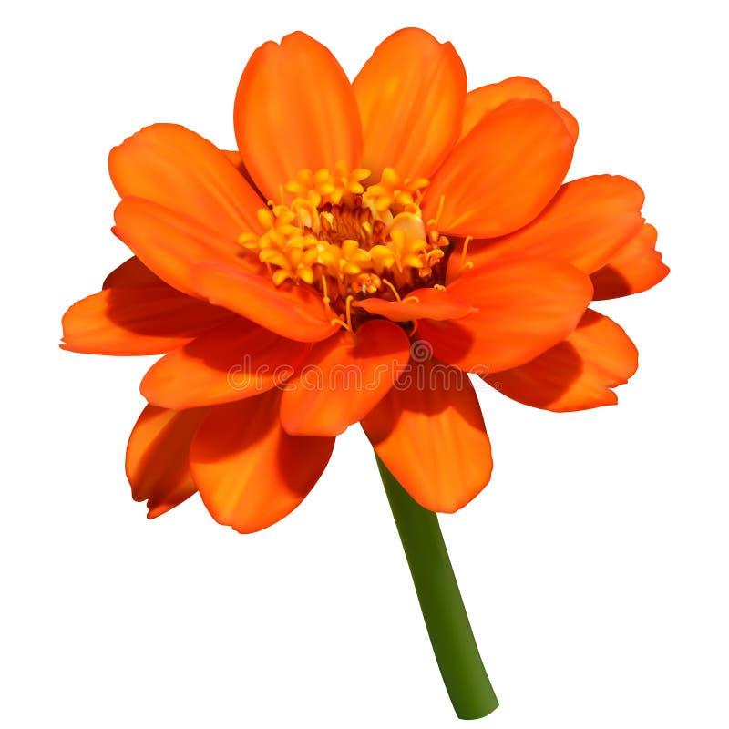Flor anaranjada del zinnia stock de ilustración