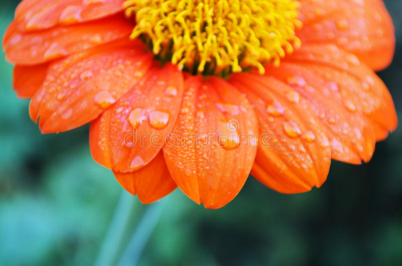 Flor anaranjada del zinnia foto de archivo