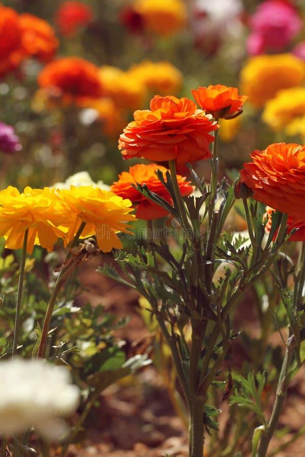 Flor anaranjada en el jard?n imagen de archivo libre de regalías