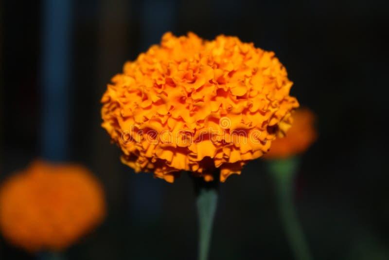 Flor anaranjada hermosa de la maravilla fotografía de archivo libre de regalías
