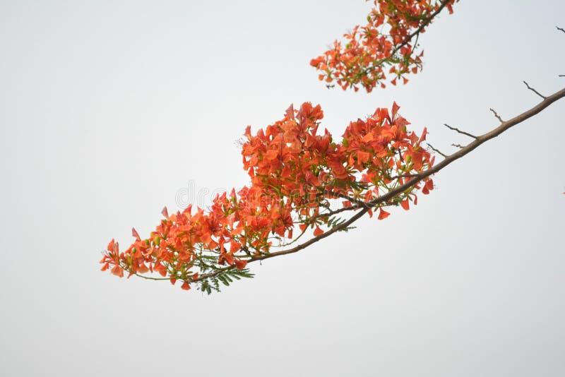 Flor anaranjada hermosa en el fondo blanco foto de archivo libre de regalías