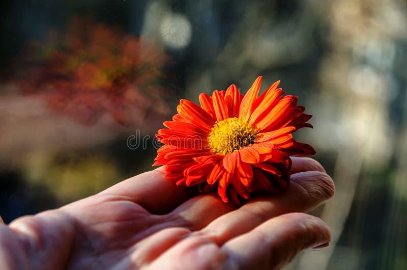 Flor anaranjada hermosa en la mano de la mujer imagen de archivo