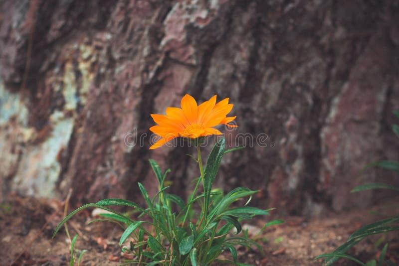 Flor anaranjada hermosa en un fondo de una corteza de un árbol imagenes de archivo