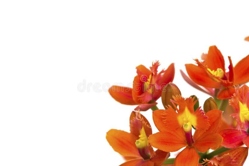 Flor anaranjada hermosa (orquídea) aislada fotografía de archivo