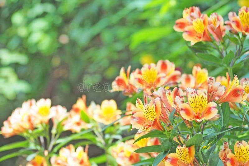 Flor anaranjada que florece con el fondo verde de la hoja imagenes de archivo