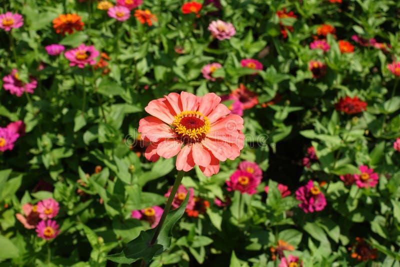 Flor anaranjada rosácea ligera de los elegans del zinnia imagen de archivo