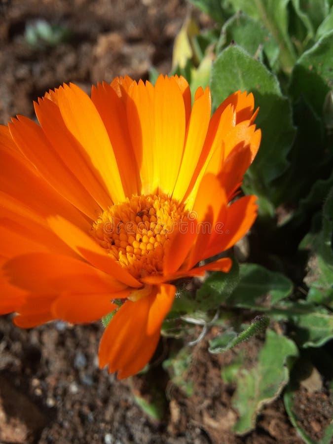 flor anaranjada sola foto de archivo