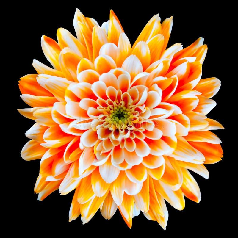 Flor anaranjada y blanca del crisantemo aislada fotografía de archivo