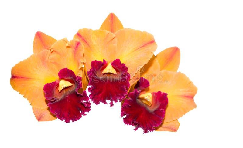 Flor anaranjada y roja híbrida de la orquídea del cattleya aislada foto de archivo