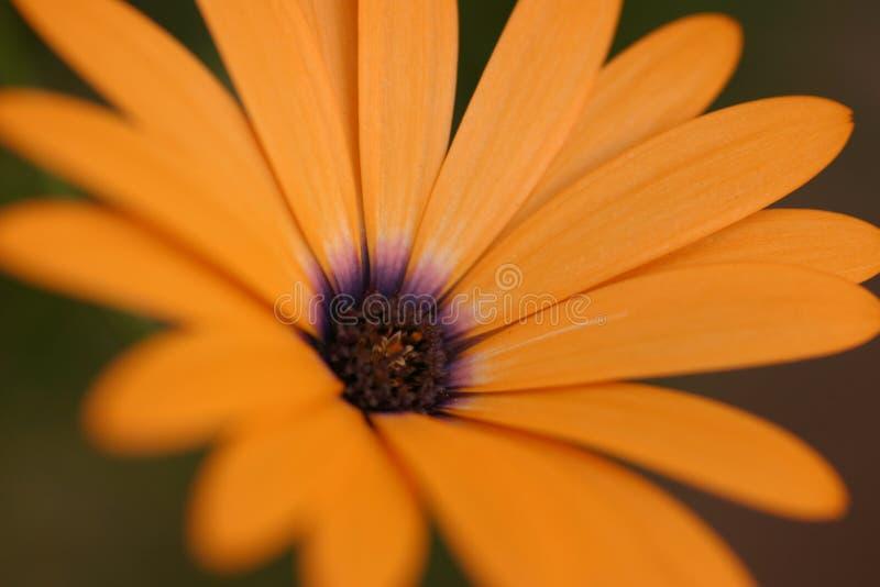 Flor anaranjado de la flor fotos de archivo