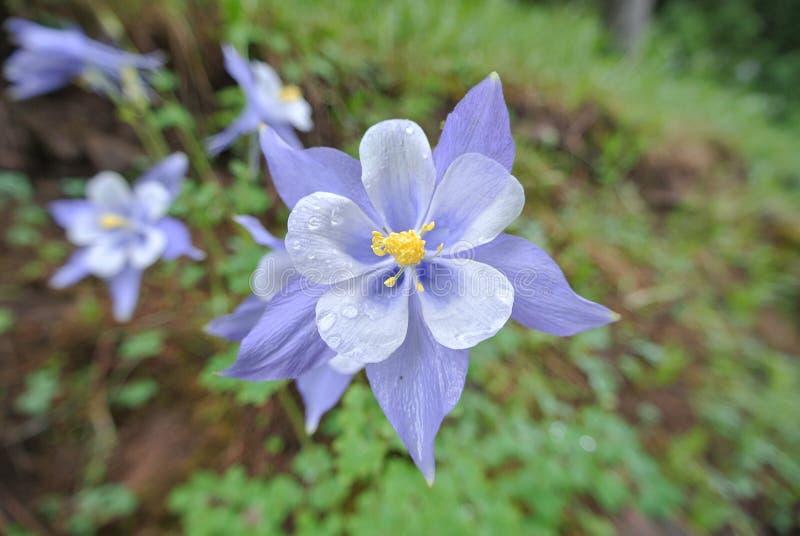 Flor aquilégia na chuva imagens de stock royalty free