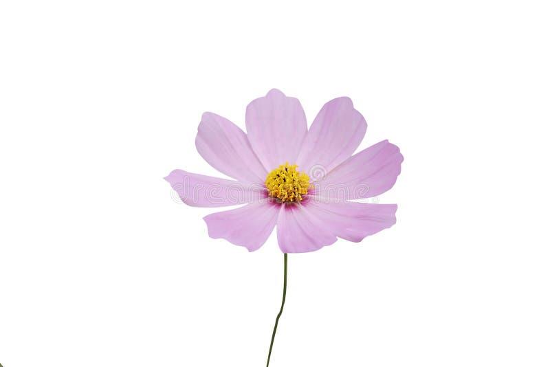 Flor ascendente cercana del cosmos, flor mexicana del aster aislada en el fondo blanco fotos de archivo