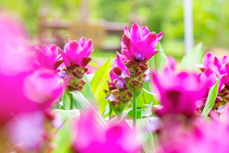 Flor ascendente próxima de Krachai da foto no parque Campo de flor natural Flor cor-de-rosa no fundo do borrão fotografia de stock