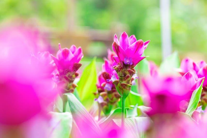 Flor ascendente próxima de Krachai da foto no parque Campo de flor natural Flor cor-de-rosa no fundo do borrão foto de stock