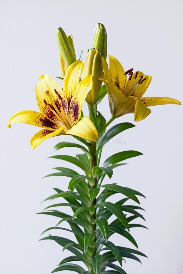 Flor asiática amarela do lírio no fundo branco imagens de stock royalty free