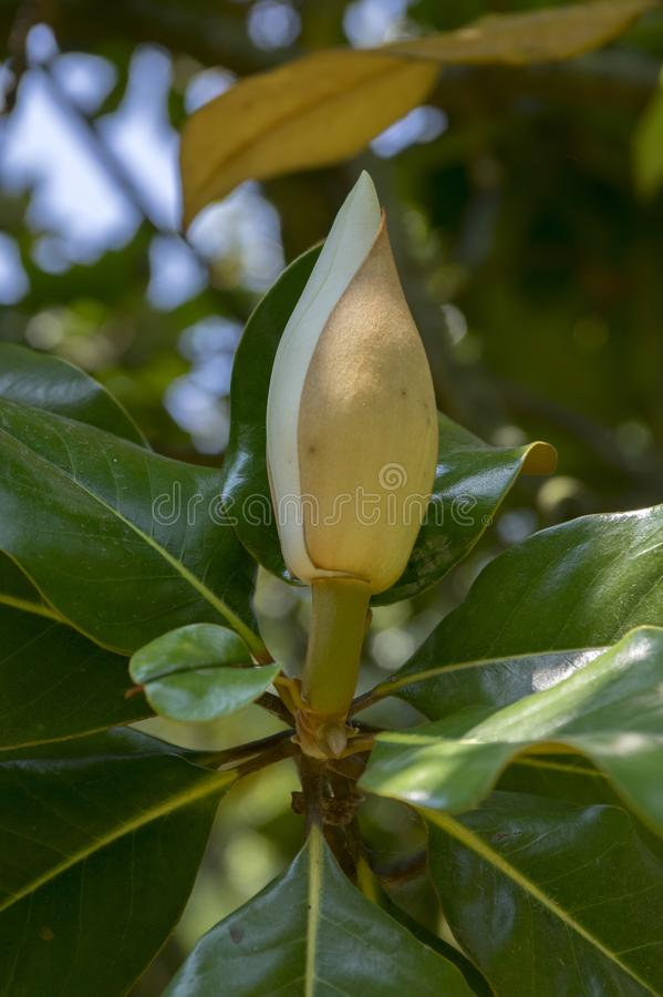 Flor asombrosa blanca grandiflora del árbol de la magnolia en la floración foto de archivo
