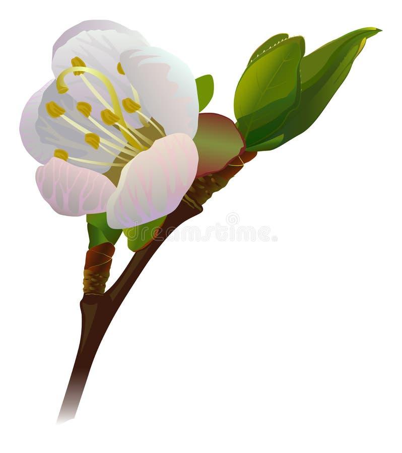 Flor aumentada do abricó no ramo ilustração do vetor