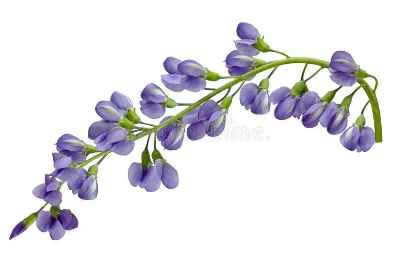 Flor australásia do Baptisia fotos de stock