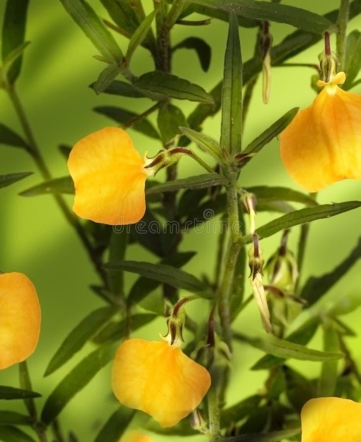 Flor australiana da pá de Hybanthus do wildflower fotografia de stock royalty free