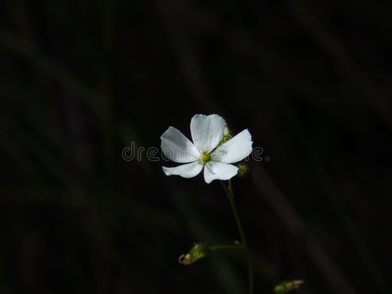 Flor australiana de la drosera fotos de archivo libres de regalías