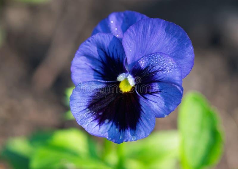 Download Flor azul foto de stock. Imagem de detalhe, ciano, manhã - 12810360