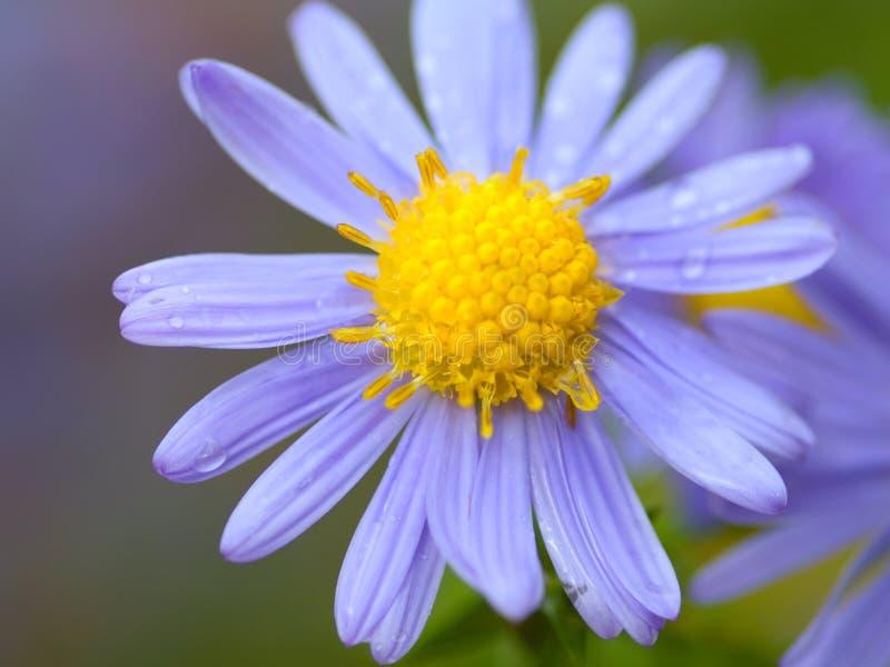 Flor azul imagem de stock royalty free