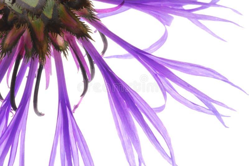 Flor azul fotos de stock