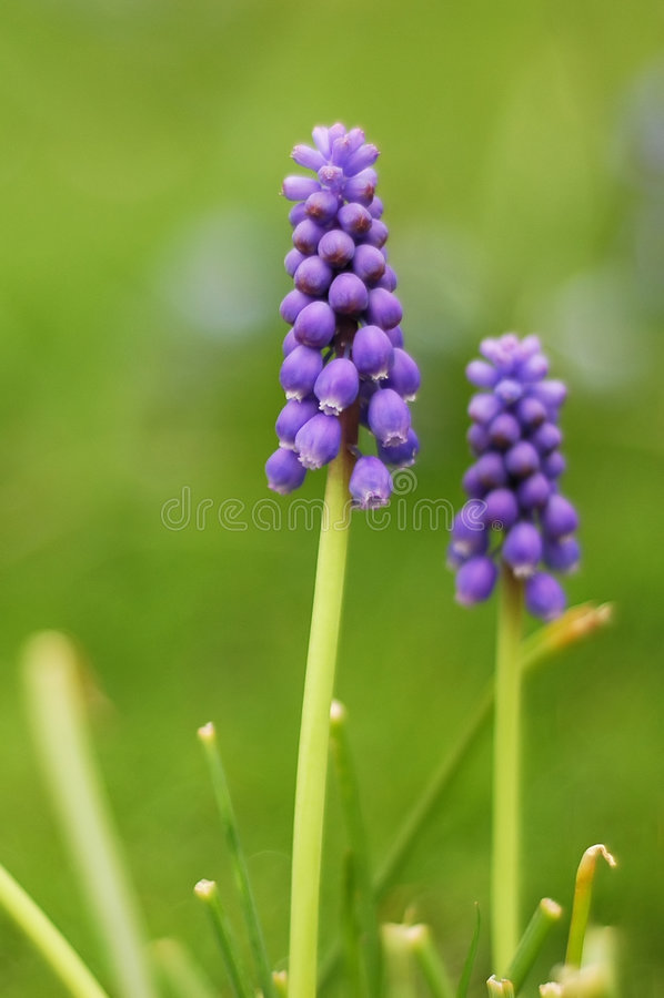 Flor azul fotos de stock royalty free