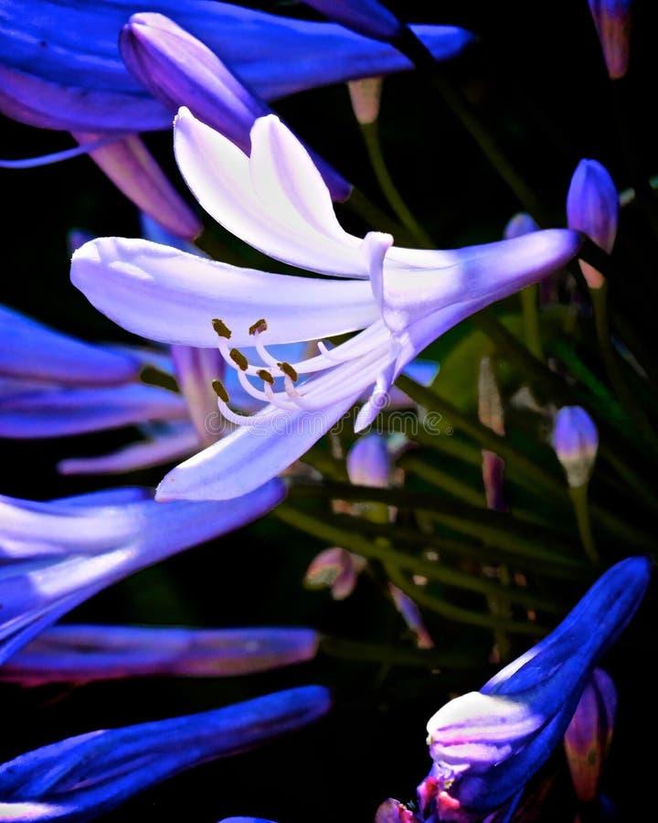 Flor azul africana do lírio do Agapanthus fotografia de stock