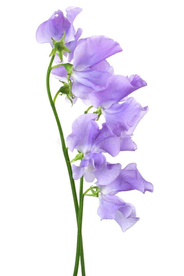 Flor azul bonita fotografia de stock