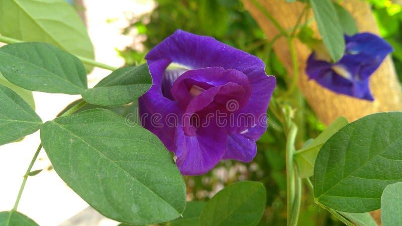 Flor azul bonita foto de stock